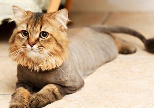 Основні моменти в стрижці кота