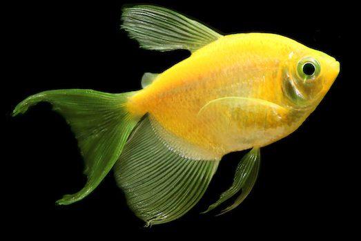 21143 Красива акваріумна рибка тернеция