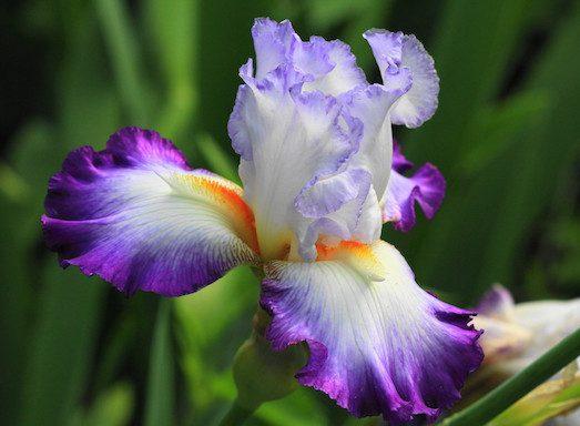 Як виростити красиві іриси в саду?