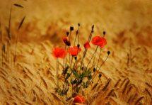 Максим Рильський – Цвітуть бузки, садок біліє…