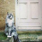 43811 Несколько мейн-кунов, по сравнению с которыми остальные кошки — настоящие карлики