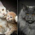 44923 Магическая красота мейнкунов, самых крупных кошек