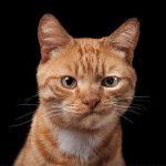 46519 Фотограф снимает примечательные портреты котов, подчеркивающие их личность
