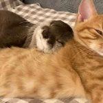 46675 Трогательное видео: выдра и кошка сладко спят в обнимку.